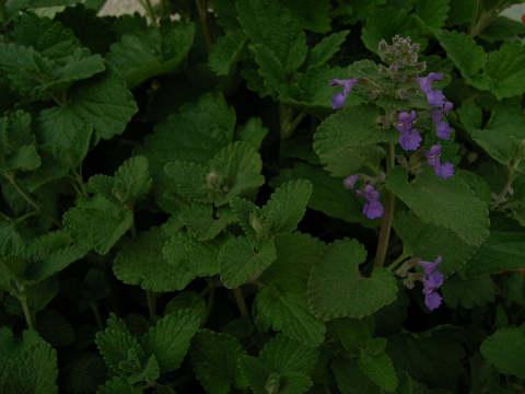 キャットミント花