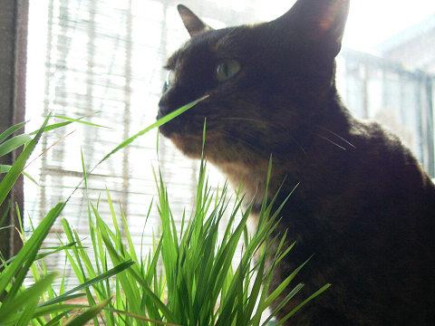 草を食べるちびこさん。