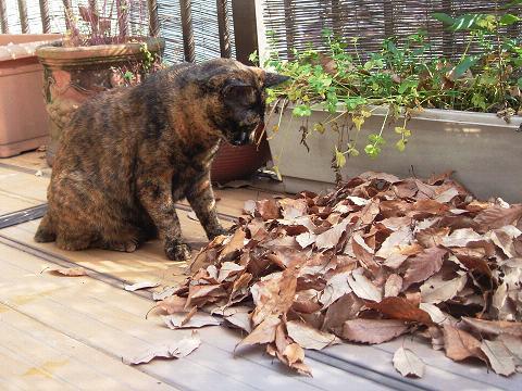 たまったね〜落ち葉。
