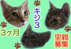 キジ4里親募集(大阪)